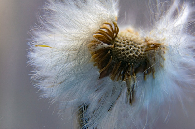 Dandelion seeds scattered on a gray background