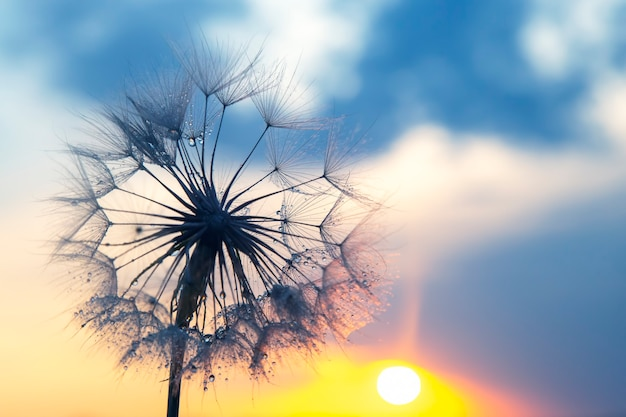 Dandelion silhouetted against the sunset sky. nature and botany of flowers