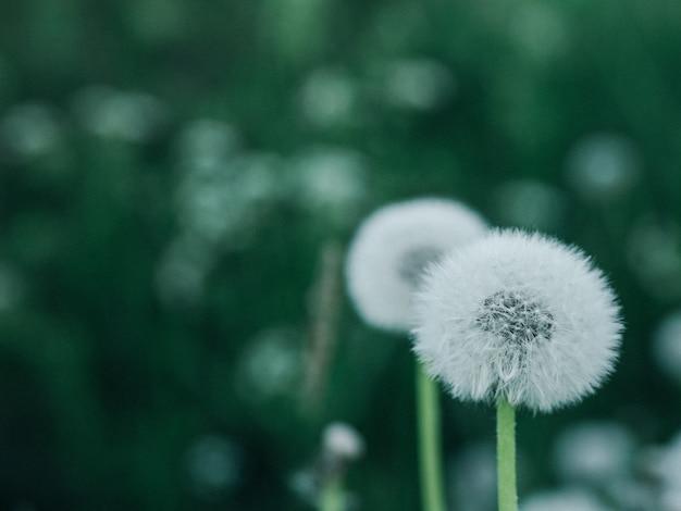 Одуванчик. летняя концепция. зеленая текстура лист / предпосылка текстуры лист / космос экземпляра. летняя концепция.