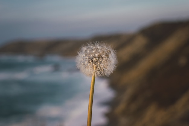 Dandelion at sunset in blurred beach background. freedom, relaxing and mindfulness concepts.