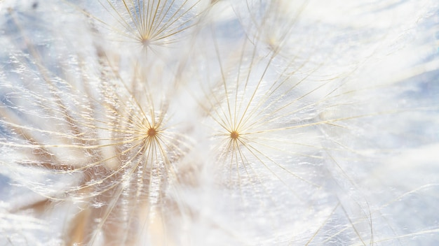 Dandelion at sunset . freedom to wish. dandelion silhouette fluffy flower on sunset sky. seed macro closeup. soft focus. goodbye summer. hope and dreaming concept. fragility. springtime