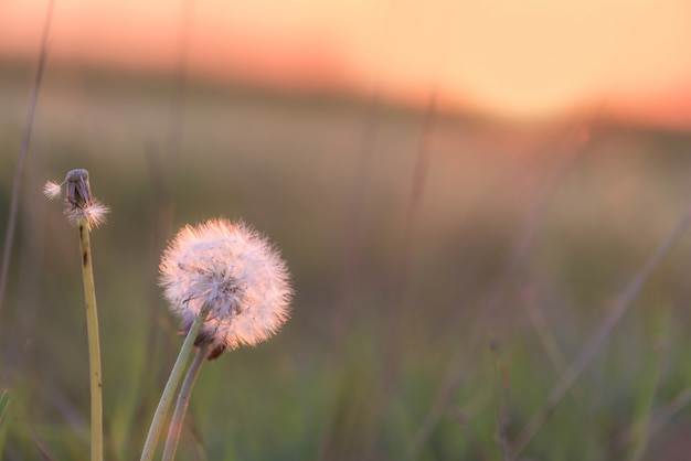 The dandelion at sunset is illuminated by the sun