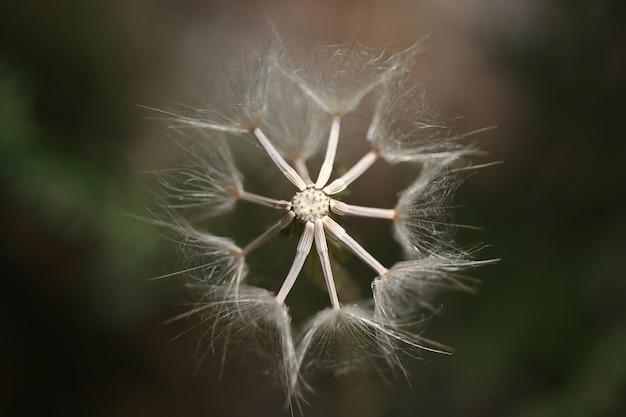 Dandelion top view