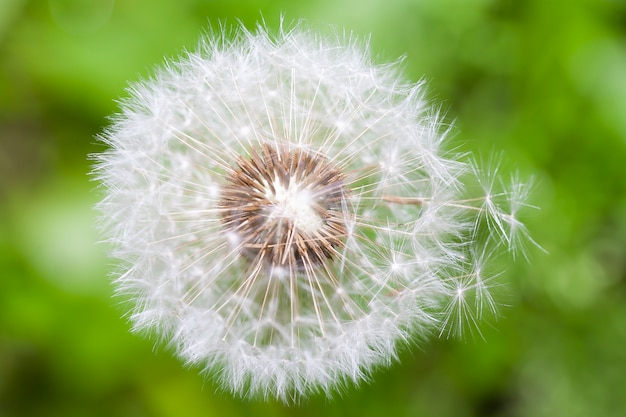 The dandelion was covered down in the summer.