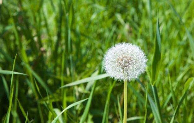 Dandelion white flower in the spring season