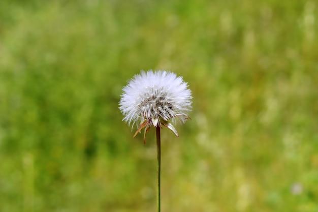 吹いて願い事をするタンポポの白い花