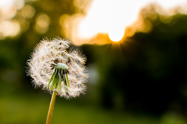Dandelion with fallen seeds on the background of the sky during the sunset
