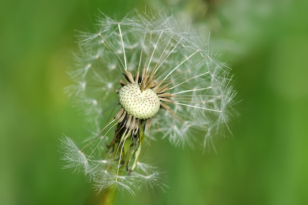 Dandelion with leafless seeds
