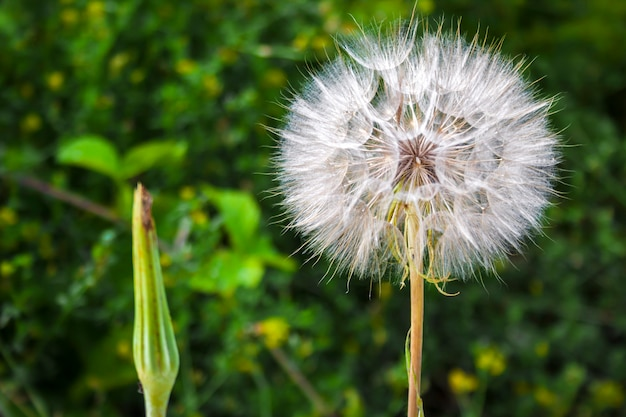 Dandelion with seeds closeup on blurred green background