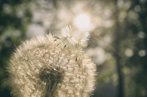 Dandelion with seeds flying to the sun