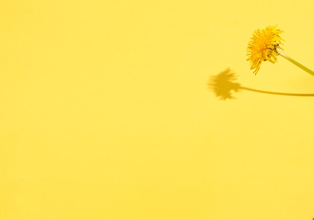 Dandelion on a yellow background with hard shadows. seasonality concept, spring. flat lay, copy space, place for text.