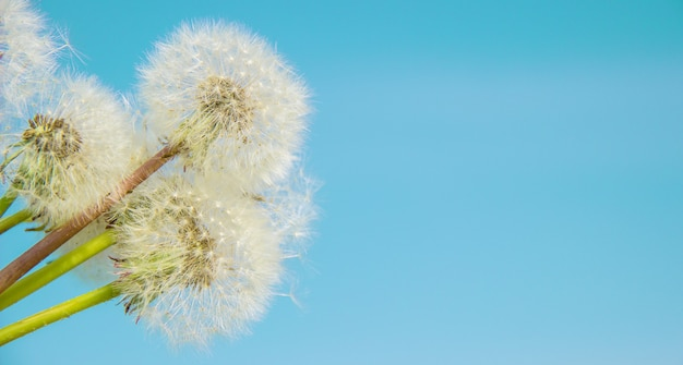 Dandelions against the sky. selective focus. nature.