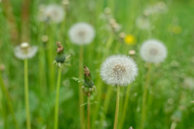 Dandelions on a bright green in the grass.