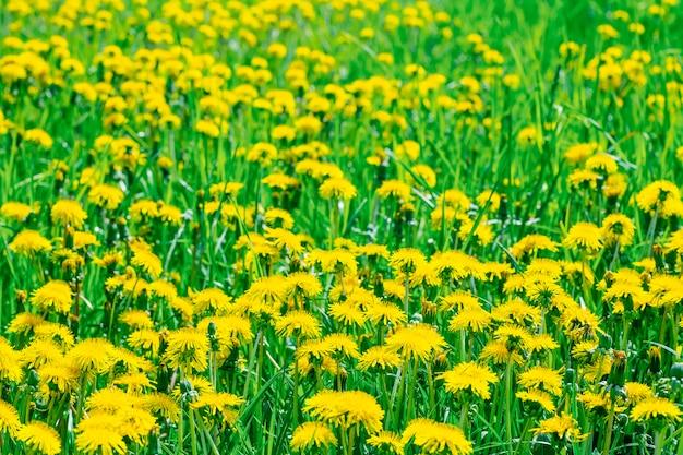 Dandelions on the field.