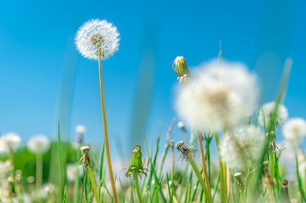 Dandelions on a green field in summer time