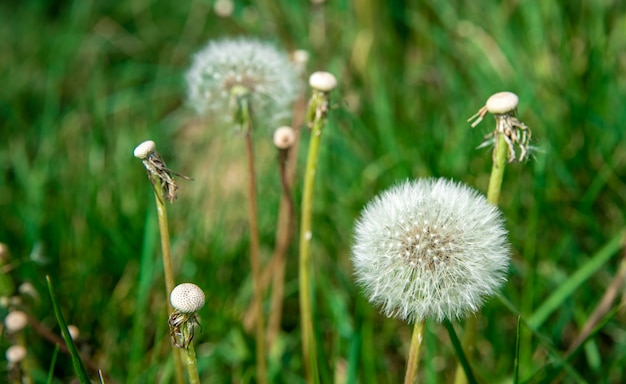 Dandelions on a green meadow in the grass