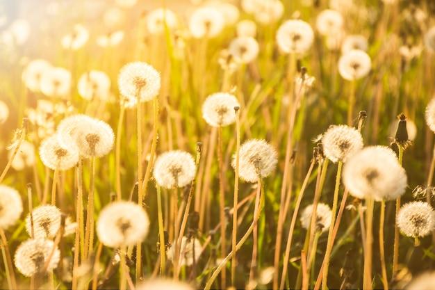 Dandelions growing on big field in sunny day
