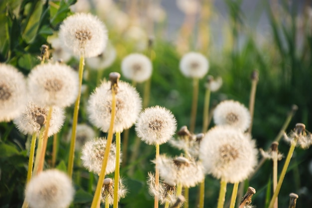 Dandelions growing near green grass