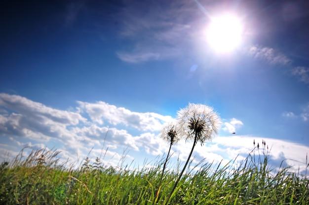 晴れた日の牧草地タンポポ