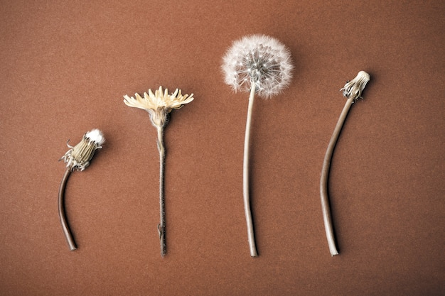 茶色の背景にタンポポ、成長または老化の概念