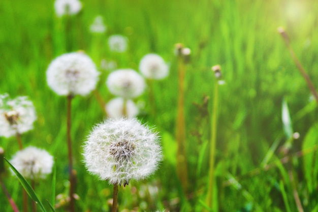 日当たりの良い夏の日に緑の芝生のタンポポ