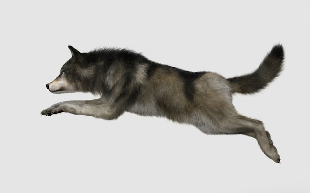 Danger wolf animal. brown and gray wolf
