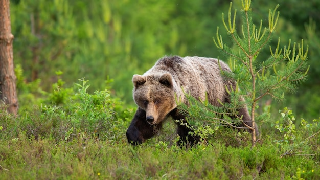 Опасный бурый медведь гуляет по вересковой пустоши в весенней природе