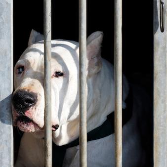 檻の中の大きな頭を持つ危険な犬