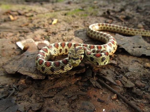 Опасная европейская крысиная змея днем на мальте