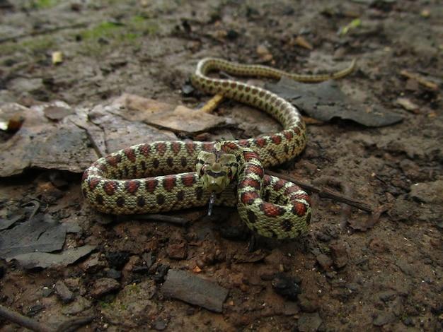 マルタの日中の危険なヨーロッパのネズミヘビ