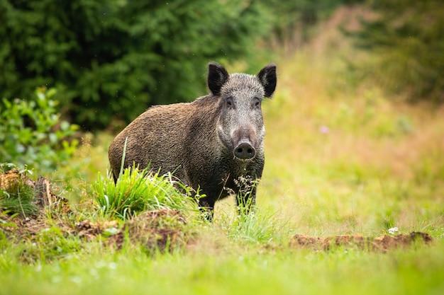 Опасная самка кабана смотрит в камеру на лесной поляне