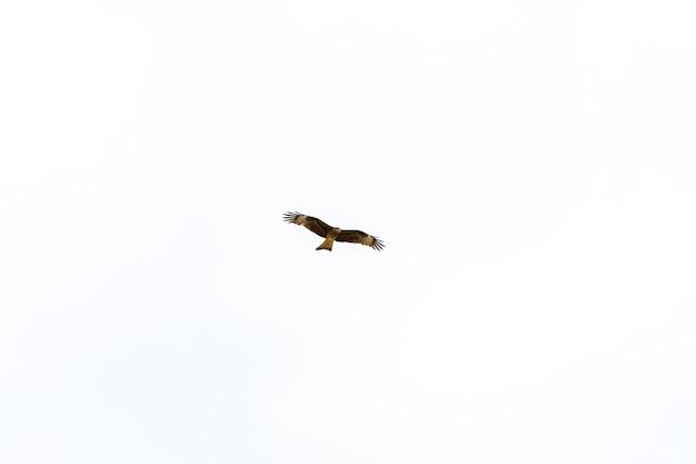 인도 고아의 푸른 하늘을 배경으로 날아다니는 큰 갈색 독수리를 찾는 위험한 사냥꾼