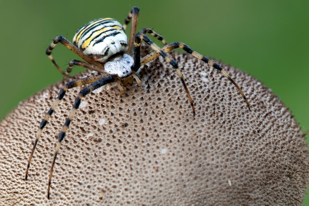 Dangerous wasp spider on the puffball mushroom in a green background