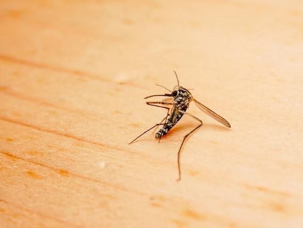Dangerous zika virus aedes aegypti dead mosquitoes