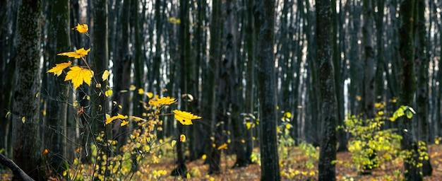 木の最後の黄色の葉を持つ暗い秋の森
