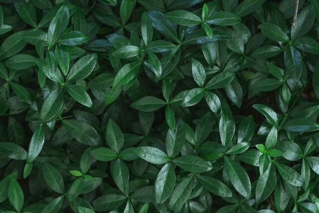 Dark background image. carpet of periwinkle plant leaves. top view. flat lay, copy space
