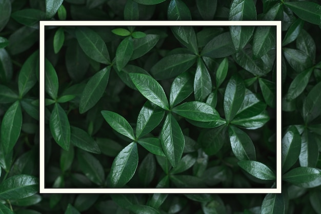 Dark background image. carpet of periwinkle plant leaves with white rectangular frame. top view. flat lay, copy space