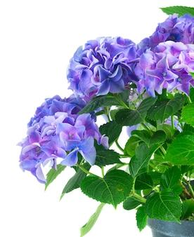 濃い青と紫の新鮮なオルテンシア新鮮な咲く花は、白い背景で隔離のクローズアップ