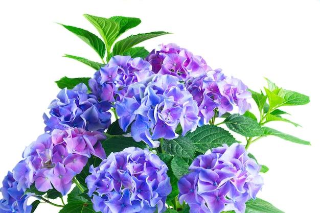 濃い青青と紫の新鮮なオルテンシア咲く花が白い背景で隔離