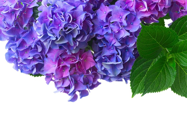 濃い青青と紫の新鮮なオルテンシア咲く花と緑の葉が白い背景で隔離