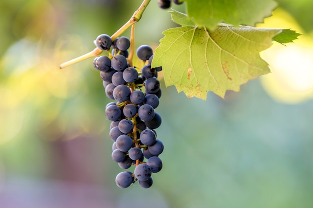 Dark blue ripening grape cluster lit by bright sun on blurred colorful bokeh copy space background.