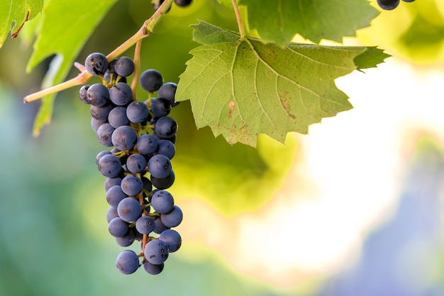 Dark blue ripening grape cluster lit by bright sun on blurred colorful bokeh copy space .