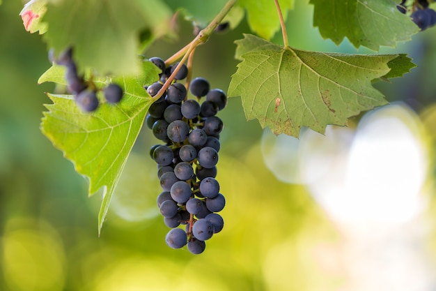 Dark blue ripening grape cluster lit by bright sun on blurred colorful bokeh