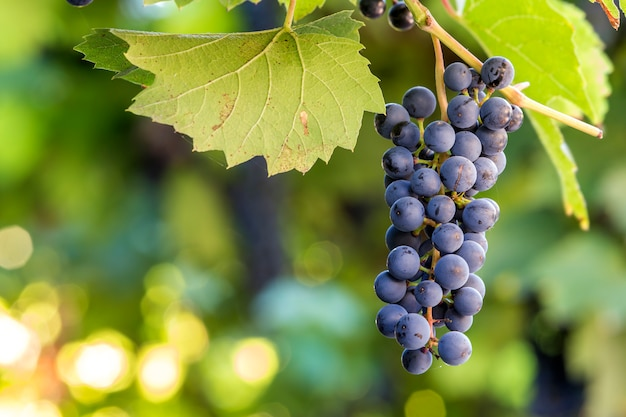 Dark blue ripening grape cluster lit by bright sun