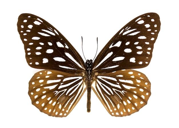 Синяя тигровая бабочка на белом фоне