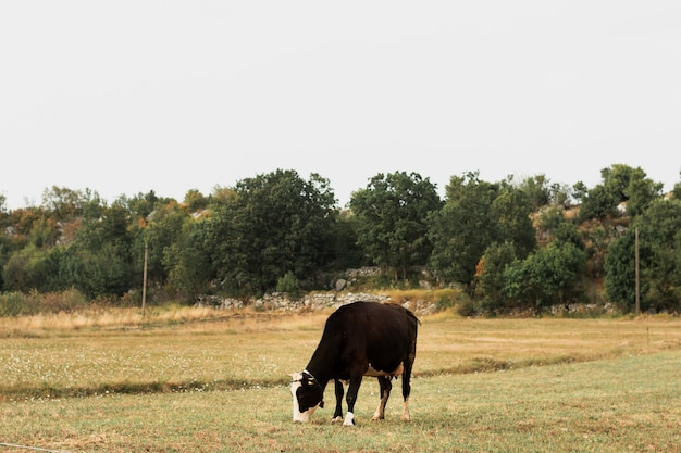 Dark brown cow grazing on a field in the countryside