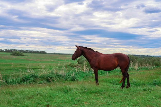 A dark brown horse stands on a green meadow