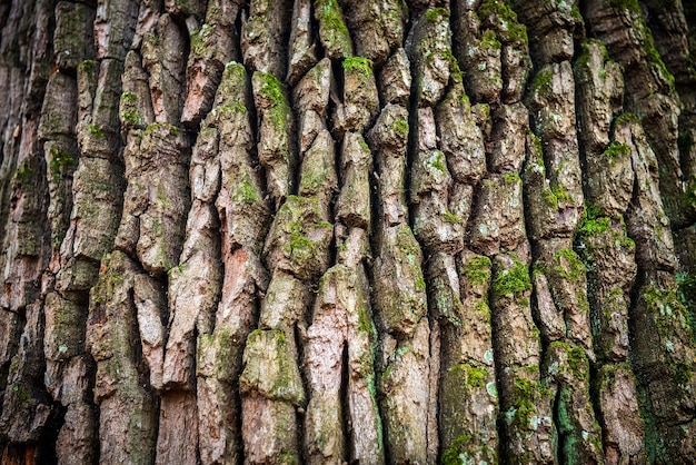 Dark brown oak bark can be used for background and texture