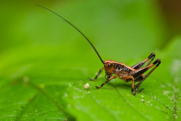 葉の上に座っている暗いキリギリス(pholidoptera griseoaptera)。
