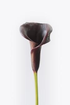 Темный цветок лилии каллы или арум, изолированные на белом